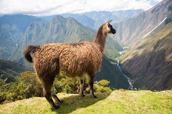 cusco llama alpaca kevin Tao