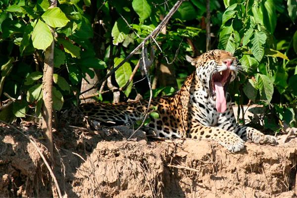 manu Jaguar pantiacolla