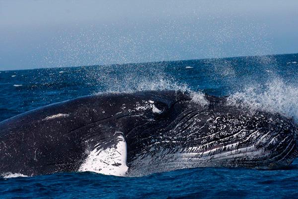 piura ballenas