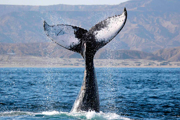 piura whale watching pacific journeys